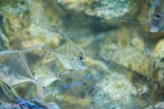 LONGFIN CAVALLA fish Stock Photography