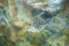 LONGFIN CAVALLA fish Royalty Free Stock Image