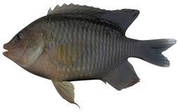 Longfin Damselfish. Fish on white background file Stock Photography