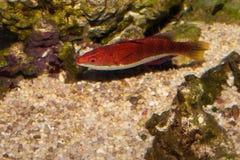 Longfin Fairy Wrasse in Aquarium Stock Photos