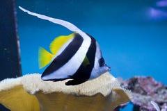 Longfin pennantfish Royalty-vrije Stock Fotografie