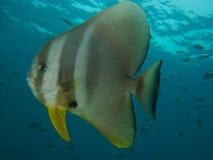 Free Longfin Spadefish Royalty Free Stock Photos - 56139838