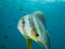 Longfin spadefish Royalty Free Stock Image