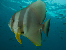 Longfin spadefish Royalty Free Stock Photos