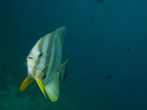 Longfin spadefish Stock Images