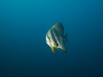 Longfin Spadefish Royalty Free Stock Photography