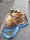 Longhair Calico Cat Sat on Bag. Longhair calico cat curled up and sleeping on a blue bag Stock Photo