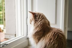 Longhair Cat Indoors Profile. Longhair ginger cat profile. Cat looking towards the outside from a door stock photos