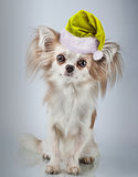 Longhair chihuahua  in Christmas Santa hat. Small dog sitting, l Royalty Free Stock Photos