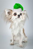 Longhair chihuahua  in Christmas Santa hat. Small dog sitting, l Stock Images