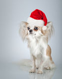 Longhair chihuahua  in Christmas Santa hat. Small dog sitting Stock Photos
