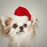 Longhair chihuahua  in Christmas Santa hat. Small dog sitting Royalty Free Stock Images