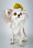 Longhair chihuahua  in Christmas Santa hat. Small dog sitting Stock Photo