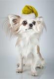 Longhair chihuahua  in Christmas Santa hat. Small dog sitting Stock Photo