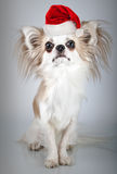 Longhair chihuahua  in Christmas Santa hat. Small dog sitting Stock Image