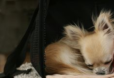 Longhair chihuahua curled up in a ball Royalty Free Stock Photo