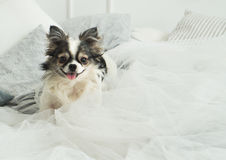 Longhair Chihuahua Dog on Light Textile Decorative Coat for a Modern Bed in House or Hotel. Longhair Chihuahua Dog on Light Textile Decorative Coat and Pillows Stock Photo