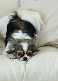 Longhair Chihuahua Dog on Light Textile Decorative Coat for a Modern Bed in House or Hotel. royalty free stock photos
