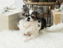 Longhair Chihuahua Dog on Light Textile Decorative Fake Fur Coat near Wicker Basket and Christmas Presents. stock photos