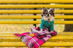 Longhair Chihuahua dog sitting on the bench Royalty Free Stock Photos