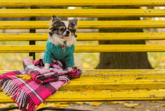 Longhair Chihuahua dog sitting on the bench Stock Photos