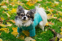 Longhair Chihuahua dog wearing blue pullover sitting on geen gra Stock Image