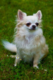 Longhair chihuahua. Stock Photos