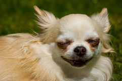 Longhair chihuahua. Royalty Free Stock Photo
