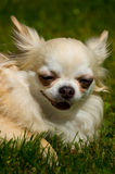 Longhair chihuahua. Royalty Free Stock Image