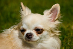 Longhair chihuahua. Stock Photo
