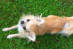 Longhair chihuahua looking up Royalty Free Stock Image