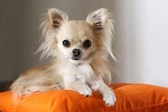 Longhair chihuahua Royalty Free Stock Photography