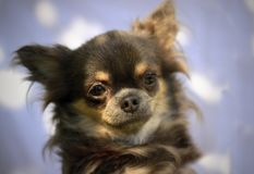 Longhair chihuahua. Portrait Head - One color background Royalty Free Stock Photography
