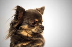 Longhair chihuahua. Portrait Head - One color background Royalty Free Stock Image