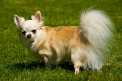 Longhair chihuahua. Royalty Free Stock Photos