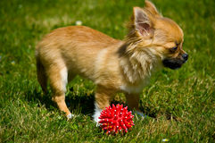Longhair chihuahua. Royalty Free Stock Images