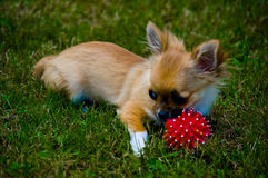 Longhair chihuahua. Stock Photography