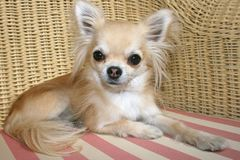 Longhair chihuahua relaxing on a wicker chair Stock Images