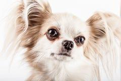 Longhair chihuahua. Small dog sitting Royalty Free Stock Photos