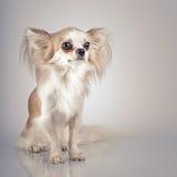 Longhair chihuahua. Small dog sitting Royalty Free Stock Photo