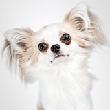 Longhair chihuahua. Small dog sitting Royalty Free Stock Images