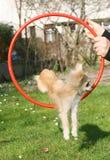 Longhair chihuahuautbildning Royaltyfria Bilder