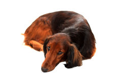 Longhair dachshund Royalty Free Stock Photo