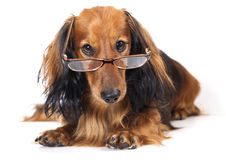 Longhair dachshund Stock Image