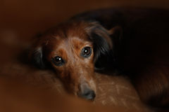 Longhair dachshund dog Stock Photos