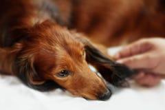 Longhair dachshund dog Royalty Free Stock Photos