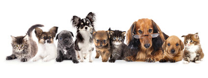 Longhair dachshund and dogs. Group of Puppies and kitten of different breeds, cat and dog Royalty Free Stock Images