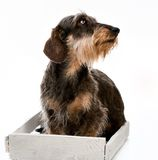 Longhair dachshund Royalty Free Stock Photos
