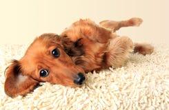 Longhair dachshund puppy stock image