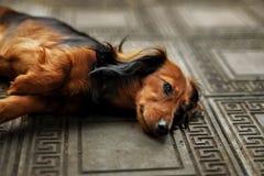 Longhair dachshund puppy lying down Royalty Free Stock Photos